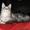 Котик мейн-куна (енотовидной кошки) в Курске #921671