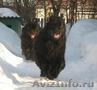 Ньюфаундленда щенки в Киеве