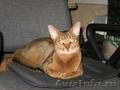 Абиссинские котята из питомника Мирабелла Кэт