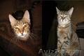 Кот - Рысь,  1 год,  в дар