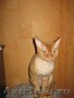 Рыжий кот девон рекс