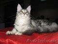 Котик мейн-куна (енотовидной кошки) в Курске