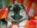 щенки кеесхонда-вольфшпиц