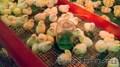 Цыплята Серебристые оптом (от 1000 шт.)