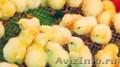Цыплята Адлерские серебристые