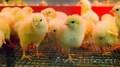 Цыплята оптом (от 1000 шт.)