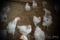 Яйцо инкубационное куриное (Адлер Серебристый) - Изображение #3, Объявление #1074661
