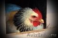Яйцо инкубационное куриное (Адлер Серебристый) - Изображение #2, Объявление #1074661