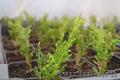 Многолетние  и однолетние садовые растения - Изображение #2, Объявление #1203540