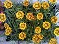 Многолетние  и однолетние садовые растения - Изображение #5, Объявление #1203540