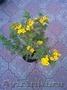 Многолетние  и однолетние садовые растения - Изображение #3, Объявление #1203540