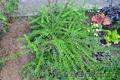 Многолетние  и однолетние садовые растения - Изображение #4, Объявление #1203540