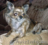 Пропала собачка ЧихуаХуа