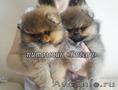 Клубные шпицы с родословной РКФ, девочки - Изображение #3, Объявление #1114865